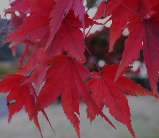 0615_モミジの老木の紅葉.JPG