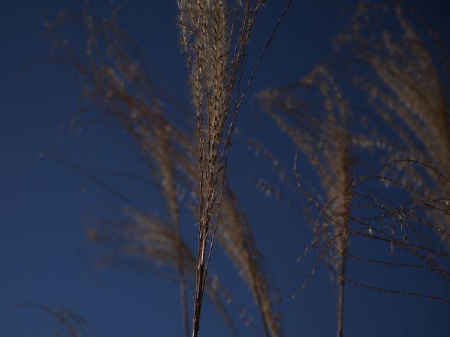 0806_菜の花台のススキ.JPG