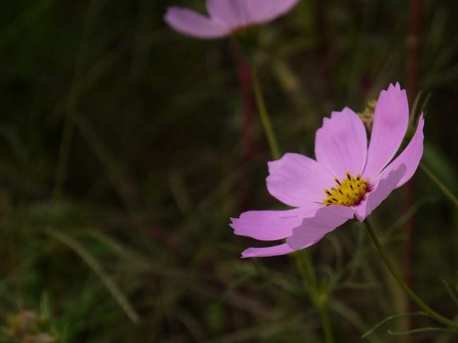 0839_蓑毛のコスモス2.JPG